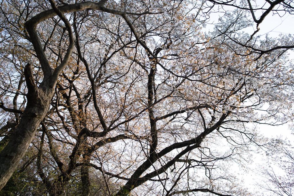 Sakura-2019_06