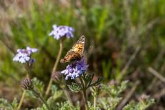 Monarch Butterfly in Sedona