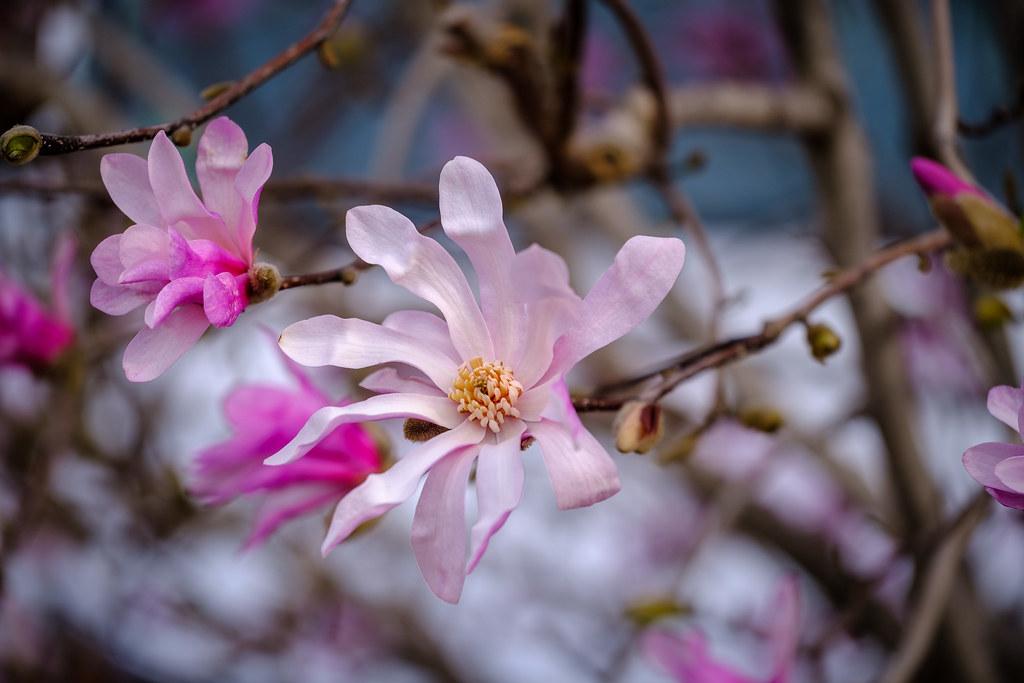 Magnolia flowers...