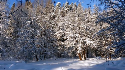 Snowy trees at Nukarinkoski (Nurmijärvi, 20190120)