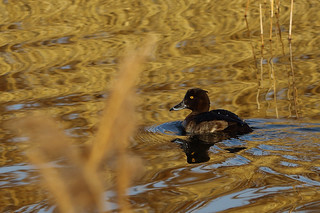 Tufted Duck | by Paul Marfell
