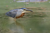 Butorides striata / Striated Heron by danielplow