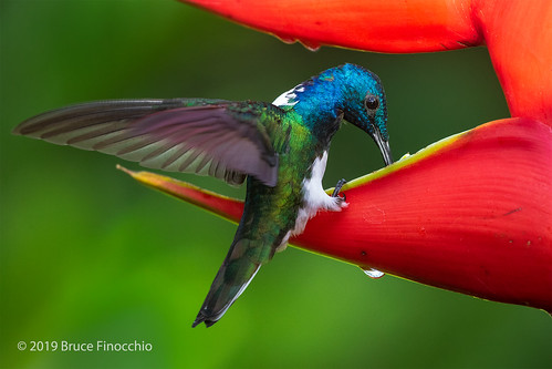 Male White-necked Jacobin Feeding On Nectar And Water From A Heliconias Blossom | by brucefinocchio