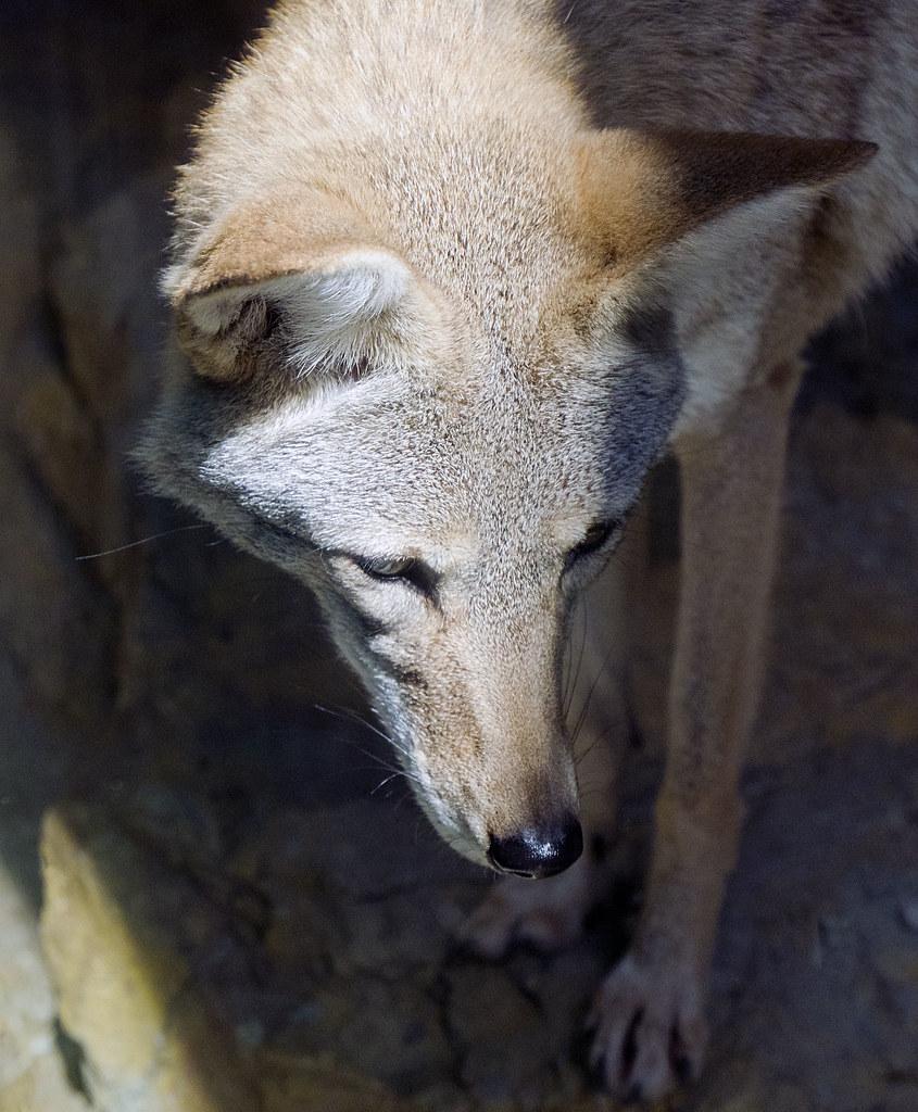 Birmingham Zoo 09-29-2017 - Coyote 6