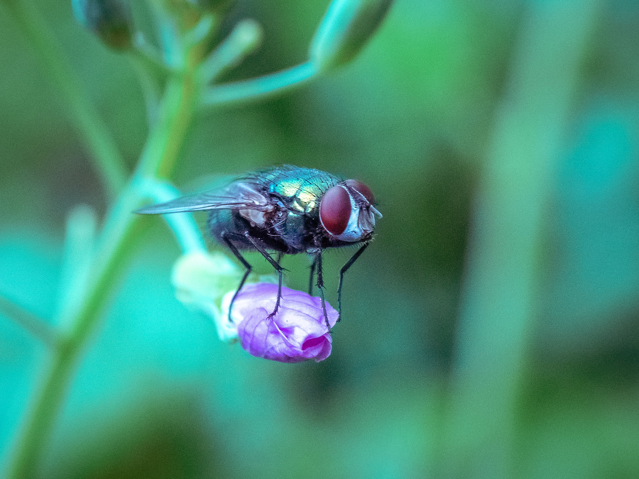 greenflyonpurpleflower