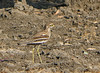 Indian Thick-knee (Burhinus indicus) by Francisco Piedrahita