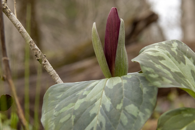 Trillium cuneatum, Rock Island SP, White County, Tennessee 2