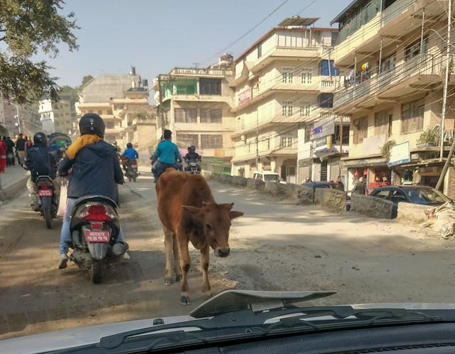 Les vaches en ville