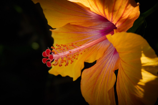 Hibiscus brackenridgei (Hawaiian hibiscus)