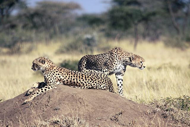 Cheetah mother and cub, Piaya, Serengeti, Tanzania