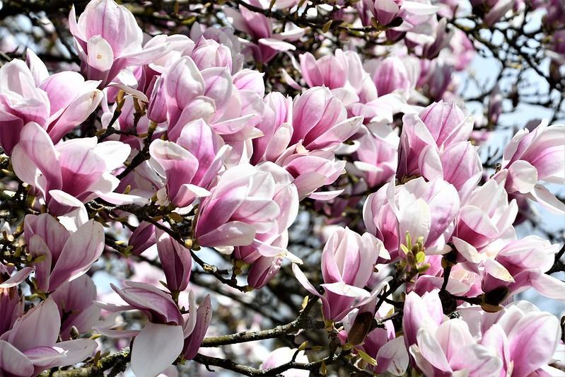 Magnolia 06.04 (5)