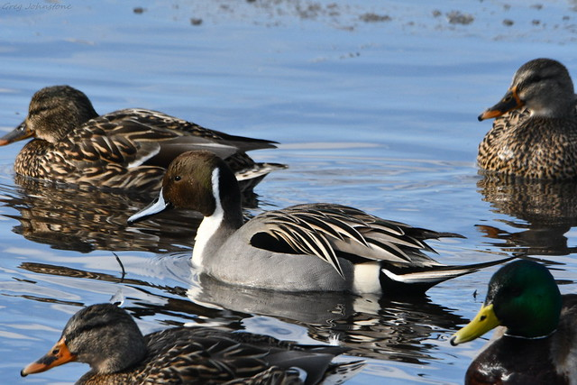 Male Northern Pintail - 2
