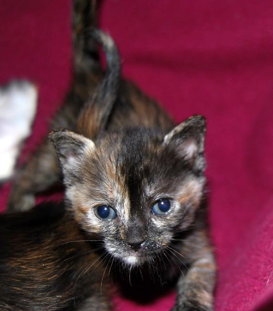 Narubi, gatita carey de cara bicolor amorosa esterilizada, nacida en Marzo´19, en adopción. Valencia RESERVADA. 40633436213_e960860fb2_z