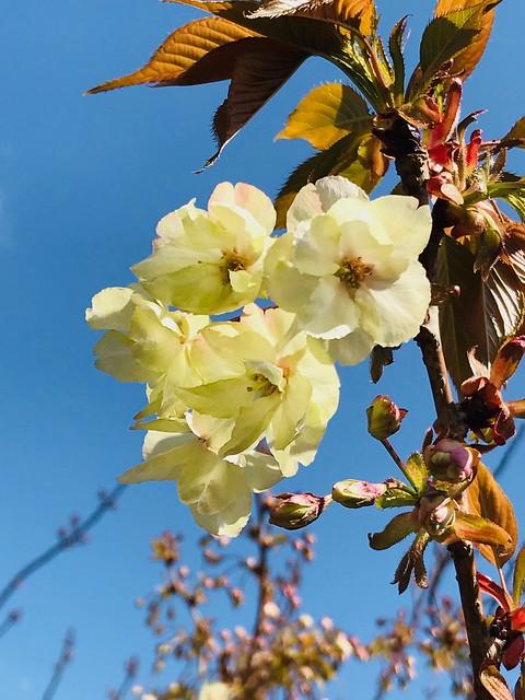 大阪造幣局櫻花季