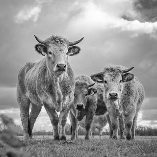 Colorfull Cows in B&W