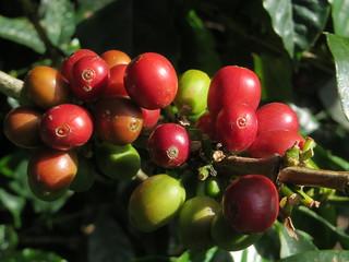 Coffee Beans growing in Monteverde | by seligmanwaite