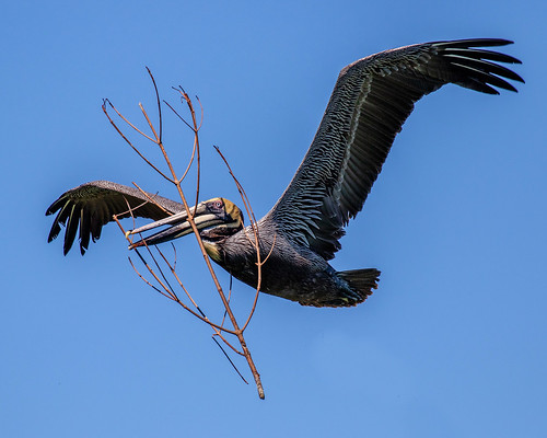 outdoor nature wildlife 7dm2 ef100400mm canon florida bird bif flight pelican