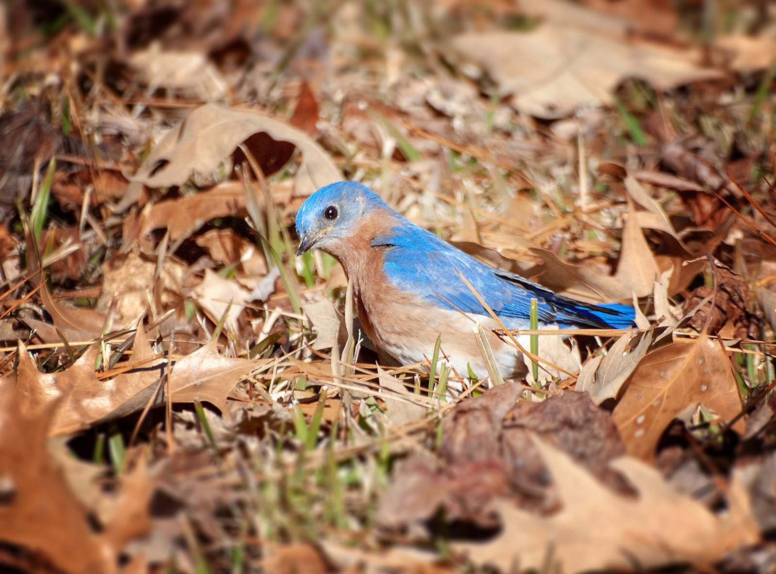 EASTERN BLUEBIRD hoping to find something to eat amongst the leaves.