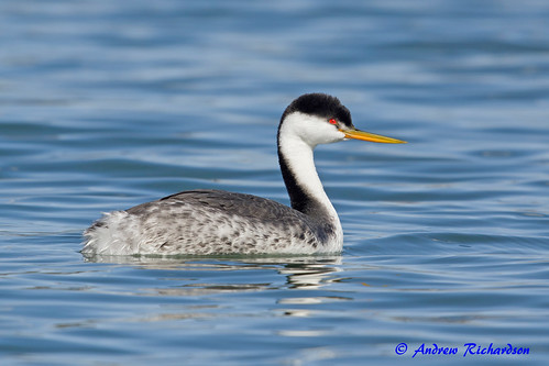 Western Grebe? | by Andrew's Wildlife