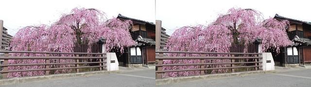Cherry blossoms at Ishibashi-ya in Sendai, 4K UHD, stereo parallel view