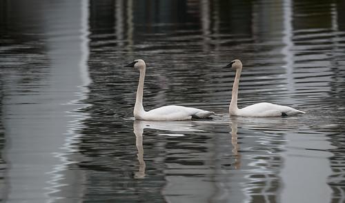 Special Swans | by Bonnie Ott