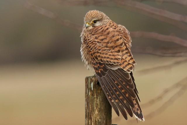 Kestrel (Falco tinnunculus) Dungeness RSPB