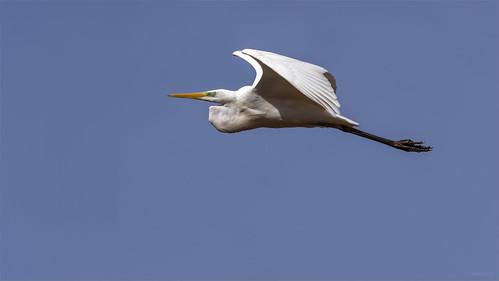 Great White Egret/Silberreiher | by Apertur1