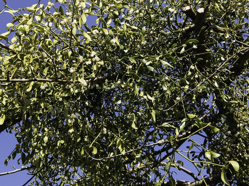 Mistletoe / Maretak (Viscum album)-819_0701