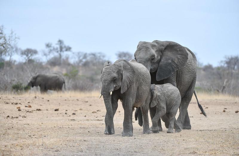 2259 Elephant