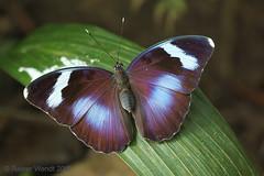 IMG_7846 Euphaedra medon pholus