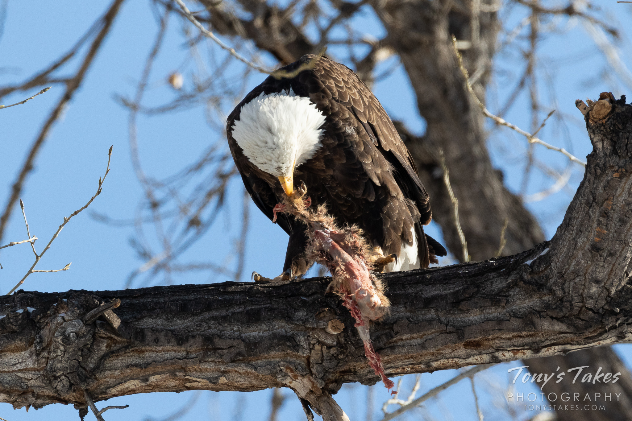 A bald eagle in Thornton, Colorado, guards its meal. (© Tony's Takes)