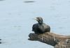Indian Cormorant (Phalacrocorax fuscicollis) by Francisco Piedrahita
