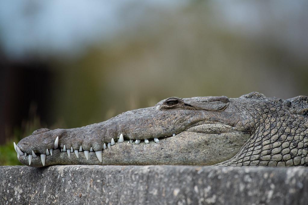 American Crocodile, Crocodylus acutus Cuvier, 1807