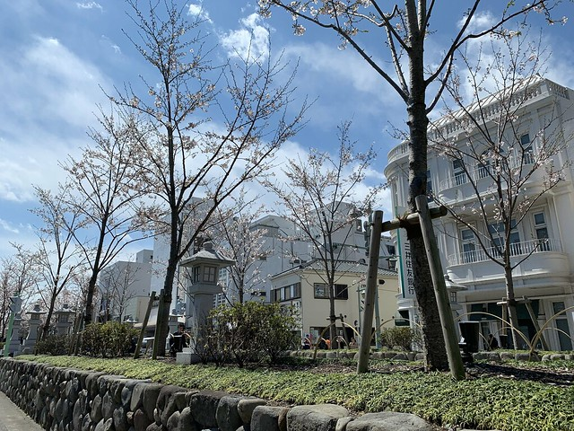 The Dankazura and Its Cherry Trees in Full Bloom