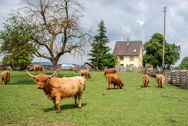 高地牛(Highland Cattle) 4