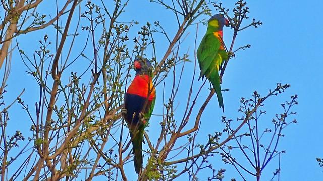 Rainbow Lorikeets in Adelaide