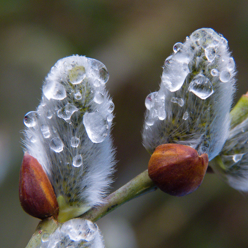 Catkins, raindrops