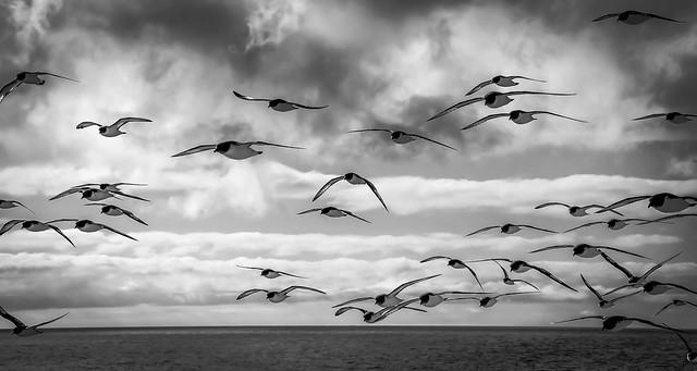 ... Petrello del Capo, Smith Island, penisola antartica (01) ...