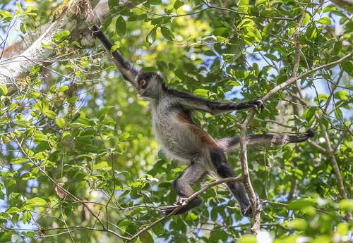 Spider Monkeys in Tikal