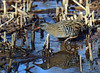 A water rail searching for food by takashi muramatsu