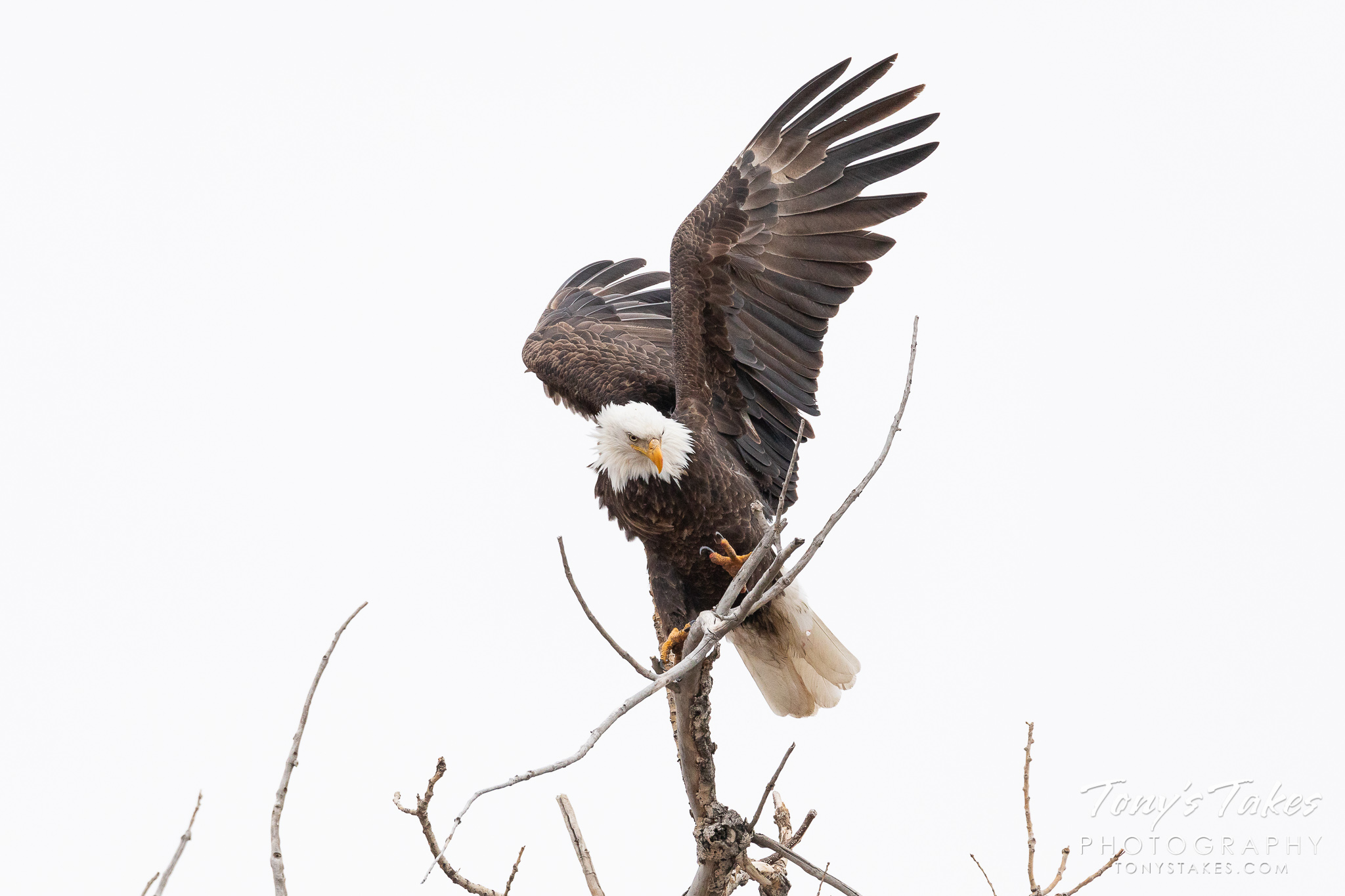 A bald eagle struggles to rearrange on its perch in Adams County, Colorado. (© Tony's Takes)
