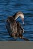 Spotted shag (cormorant) Phalacrocorax punctatus by Maureen Pierre