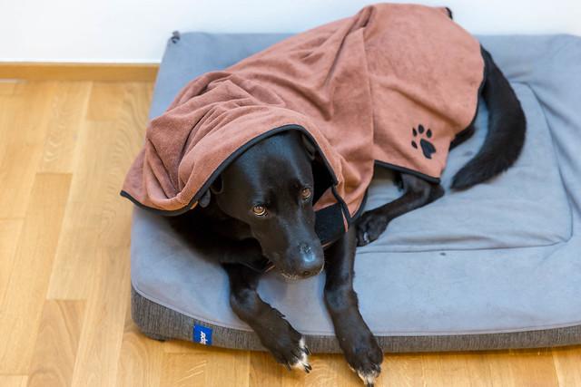 Black Labrador lying on dog bed and wearing microfiber dog bathrobe