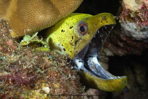 Fimbriated moray eel, Okinawa-Japan