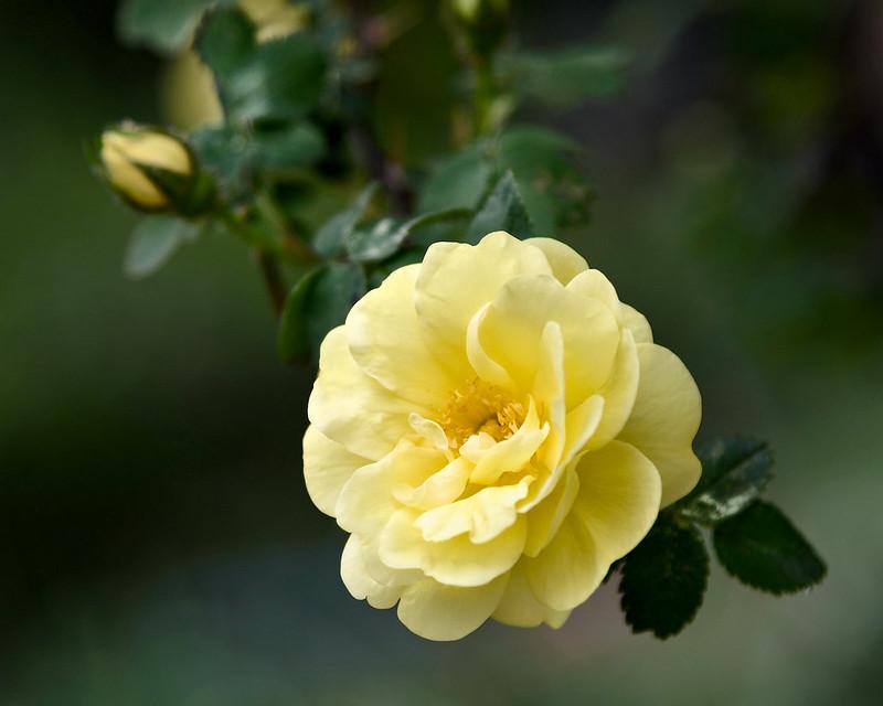 Обои макро, роза, жёлтая роза картинки на рабочий стол, раздел цветы - скачать