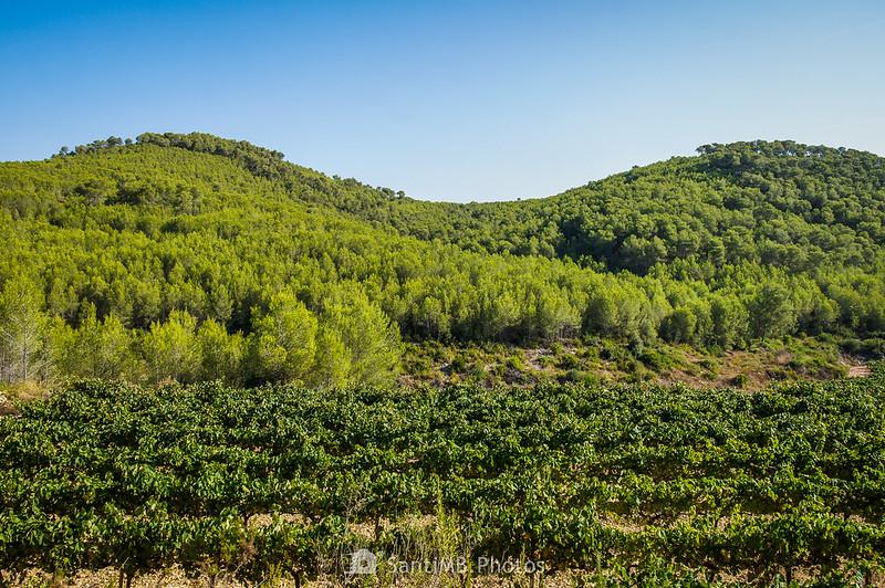 Viñas y pinos cerca de La Roqueta en Olivella