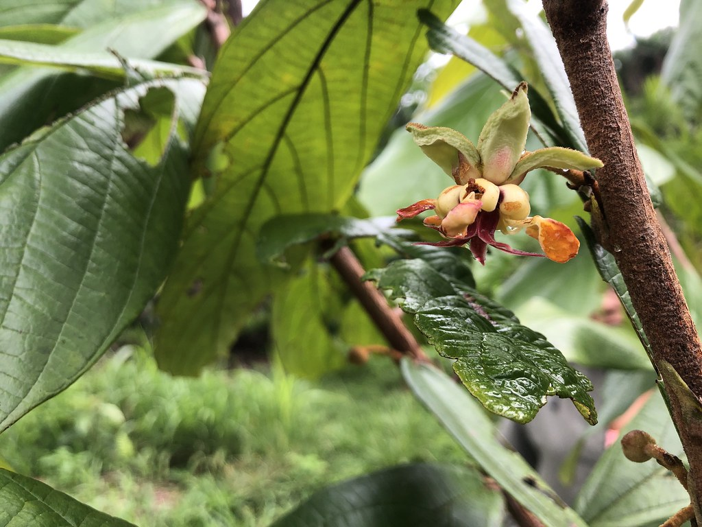 Flora: Theobroma Grandiflorum - Cupuaçu