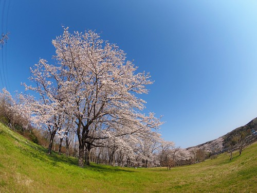 2019 Sakura