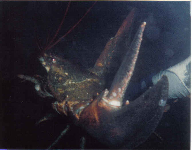Lobster - night dive