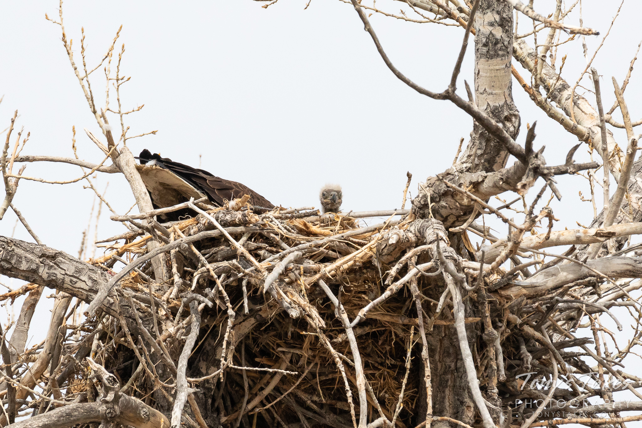 A bald eagle eaglet peers out from the edge of its nest in Colorado. (© Tony's Takes)